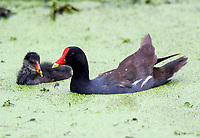 Adult common gallinule in breeding plumage with chick
