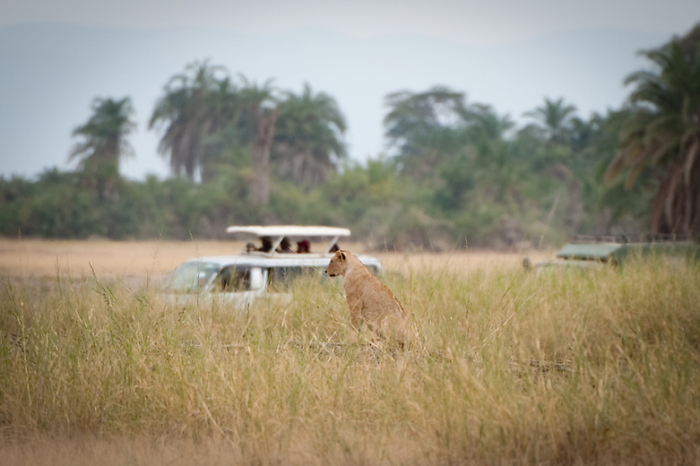A lioness watches tourists watching her.  No doubt tourism is a top foreign exchange earner for Kenya.  Tourist attractions including the country's unique physical features like the Great Rift Valley, its majestic mountains such as Mount Kenya and Kilimanjaro, its pristine beaches along the East coast, not to mention tremendous variety of wildlife roaming its National Parks.  To top it off, Kenyans are rich with culture and warm hospitality.