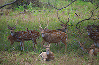 The Sri Lankan axis deer (Axis axis ceylonensis) or Ceylon spotted deer is a subspecies of axis deer (Axis axis) that inhabits only Sri Lanka