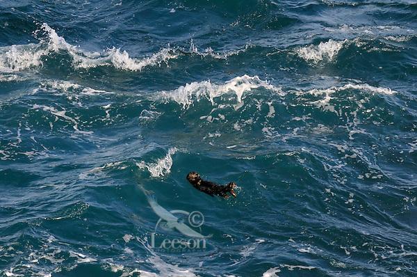 Young Sea Otter (Enhydra lutris) in open ocean.