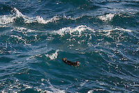Young Sea Otter (Enhydra lutris) in open ocean.