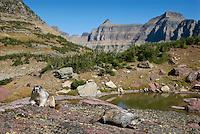 Hoary Marmots (Marmota caligata) on rock near continental divide, Northern Rockies, fall.