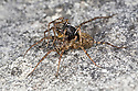 Mating Wolf Spiders {Pardosa lugubris} in limestone quarry, Peak District National Park, Derbyshire, May.