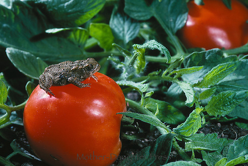Toad sitting in garden on top of an enormous tomato