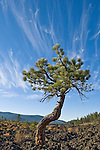 Contorted pine tree growing on lava flow at Lava Cast Forest, Newberry Crater National Volcanic Monument, Oregon.