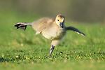 Goslings limber up, to perform Swan Lake by Decker Nomura