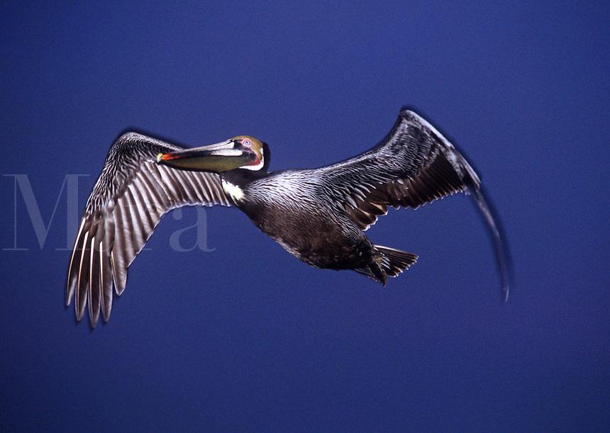 Endangered California Brown Pelican in Flight over Pacific Ocean, La Jolla Cove Cliffs, La Jolla, California