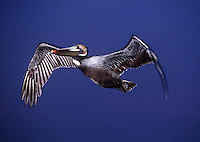 Endangered California Brown Pelican in Flight over Pacific Ocean, La Jolla Cove Cliffs, La Jolla, California