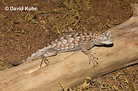 0209-1002  Eastern Fence Lizard (Fence Swift), Sceloporus undulatus  © David Kuhn/Dwight Kuhn Photography.