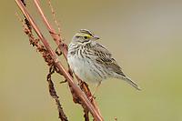 Adult Savannah Sparrow (Passerculus sandwichensis). Seward Peninsula, Alaska. May.