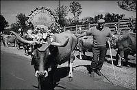 Europe/France/Midi-Pyrénées/12/Aveyron/en Aubrac: Lors de la transhumance,les éleveurs ont décoré leurs bètes