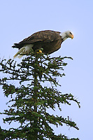 Bald Eagle getting ready to launch from the top of a tree