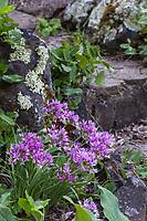 Allium unifolium - Oneleaf Onion bulb flowering in Regional Parks Botanic Garden, Berkeley, California