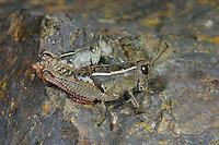 Kurzflüglige Schönschrecke, Paarung, Kopula, Kopulation, Kurzflügelige Schönschrecke, Paracaloptenus bolivari, Pyrenean Pincer Grasshopper, copulation, pairing