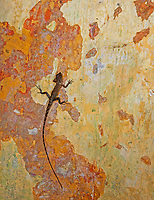 A lizard on a wall Cambodia