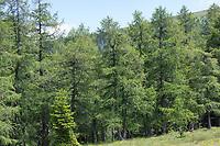 Lärche, Europäische Lärche, Lärchen, im Bergwald, Larix decidua, European Larch, Larch, Le Mélèze d'Europe, Mélèze commun, Le Mélèze, Bergwald, Alpen, Lärchenwald, Lärchen-Wald