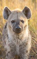 Spotted Hyena (Crocuta crocuta), adult, portrait, Kruger National Park, Mpumalanga, South Africa, Africa