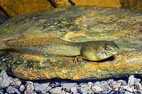 American bullfrog Tadpole (Lithobates catesbeianus or Rana catesbeiana) Showing emergence of hind legs in its transition from tadpole to adult frog. (do) (c)