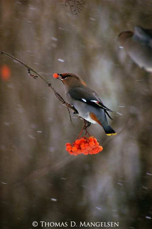 A bohemian waxwing perches on a mountain ash branch as it feeds on berries.