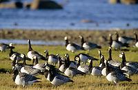 Nonnengans, Nonnen-Gans, Weißwangengans, Weißwangen-Gans, Weisswangengans, Weisswangen-Gans, Gans, Branta leucopsis, barnacle goose
