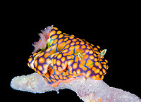 dorid nudibranch, Miamira sinuata, Alotau, Milne Bay, Papua New Guinea, Pacific Ocean
