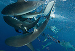 Grey reef sharks at North Horn.Carcharhinus amblyrhynchos