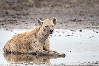 Spotted Hyena (Crocuta crocuta), Liuwa Plain National Park, Western Province, Zambia, Africa