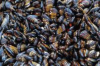 Tidepool mussels, Mytilus californianus, Shi Shi beach, Olympic National Park, Olympic Peninsula, Washington, USA, Pacific Ocean