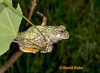 "0917-07rr  Gray Tree Frog - Hyla versicolor ""Virginia"" © David Kuhn/Dwight Kuhn Photography"