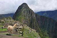 Lama, Machu Pichu, Peru