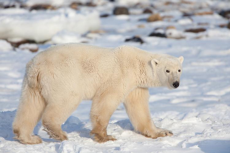 Polar Bear walking along the icy shores of Hudson Bay