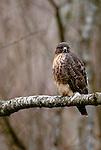 Red-tailed hawk, Squamish, British Columbia, Canada