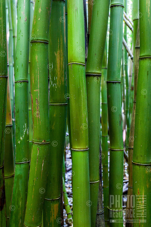 A close-up view of bamboo in the bamboo forest surrounding the Pipiwai hiking trail in Haleakala National Park, Kipahulu, Maui.