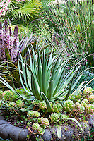 Succulents, Spider of Squid Agave (A. bracteosa) and Echeveria in cement container in California garden in front of Chondropetalum tectorum, Small Cape Rush