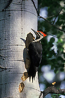 Pileated woodpecker (Dryocopus pileatus), Summer, Western North America.