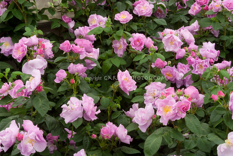 Rosa 'Lucky!' = 'Frylucy' UK Rose of the Year 2008 (Floribunda), pink lavender