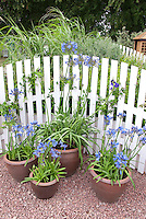 Containers of agapanthus bulbs in blue blooms in front of white picket fence
