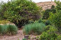 Flowering Blue Elderberry shrub, small tree, Sambucus mexicana (nigra ssp. caerulea) in no summer water demonstration garden across street from Judy Adler Garden, Walnut Creek, California next to dry hills open space