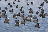 Blässralle, Blässhuhn, größerer Trupp im Winter auf eisfreier Wasserfläche, Zappe, Fulica atra, coot, Bläß-Ralle, Bläßralle, Bläss-Ralle, Blessralle, Bleß-Ralle, Bleßralle, Bless-Ralle, Ralle, Bläß-Huhn, Bläßhuhn, Bläss-Huhn, Blesshuhn, Bleß-Huhn, Bleßhuhn, Bless-Huhn