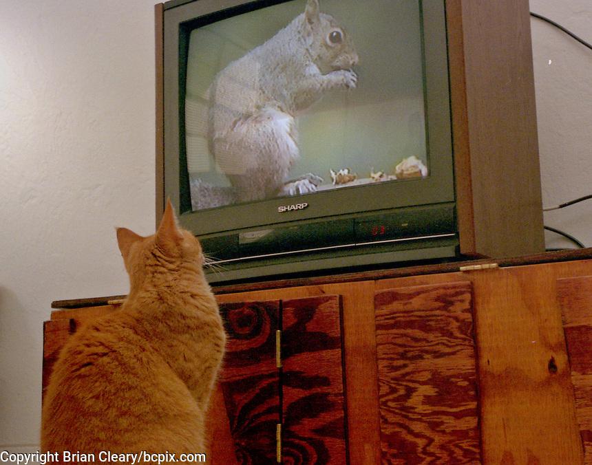 A cat watches a sqirrell on TV, Daytona Beach, FL. (Photo by Brian Cleary/www.bcpix.com)