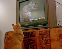 A cat watches a sqirrell on TV, Daytona Beach, FL. (Photo by Brian Cleary/www.bcpix.com)