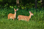 White-tailed fawns walking in a northern Wisconsin meadow.