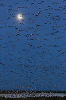 Mass liftoff of various white geese,  at dusk under a full moon, Merced National Wildlife Refuge, California.