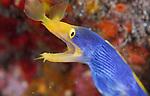 Blue Ribbon Eel, Rhinomuraena quaesita, Underwater macro marine life images;  Photographed in Tulamben; Liberty Resort; Indonesia.Underwater Macro Photographer on FB 2nd Annual event