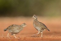 Northern Bobwhite (Colinus virginianus), young running, Rio Grande Valley, South Texas, Texas, USA