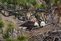 Bald Eagle Nest (Haliaeetus leucocephalus)--with both adults on nest in tall ponderosa pine tree.  Oregon.  April.  One adult is moving nesting material (I think piece of a cattail reed) around in nest.