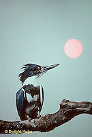 KG01-065x  Belted Kingfisher - male perched along stream  - Megaceryle alcyon
