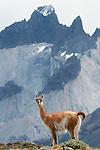 Guanaco, Torres Del Paine National Park, Chile