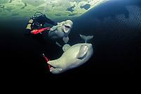 Beluga whale, Delphinapterus leucas, White Whales in Russian outdoor delphinarium and scuba diver, (cr), Russia, White Sea, PR, MR