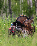 Tom turkeys strutting for a hen decoy in northern Wisconsin.